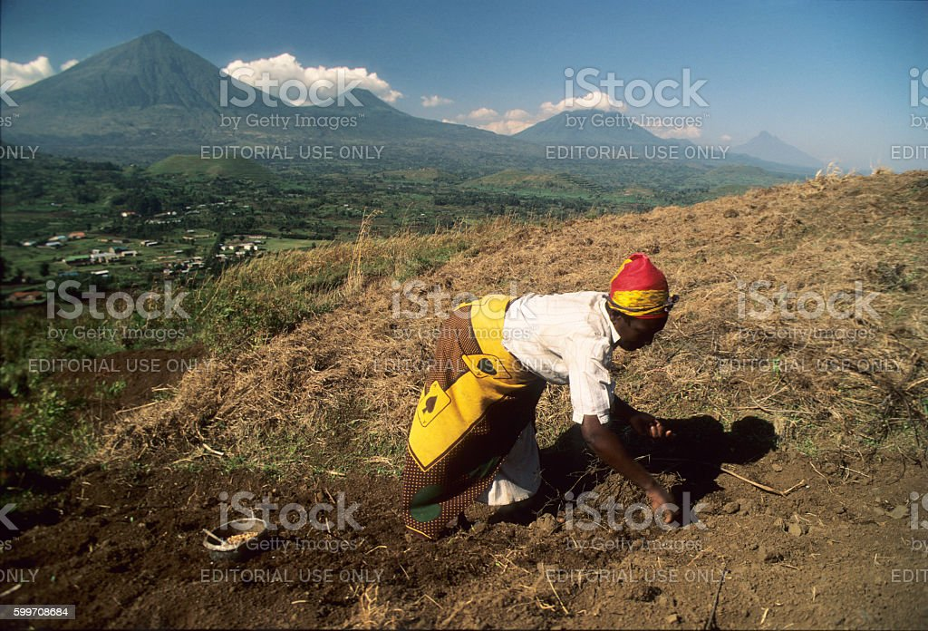 Woman working on the field, Virungas volcanoes in background, Uganda stock photo