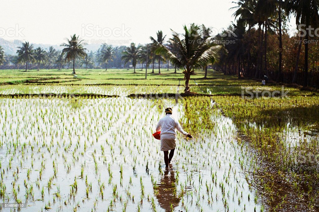 Woman working on the rice field stock photo