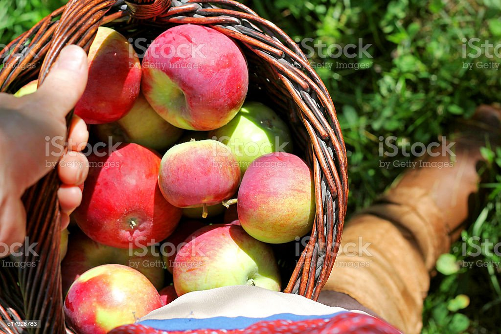 Woman's Hand Carrying Basket of Freshly Harvested Apples stock photo