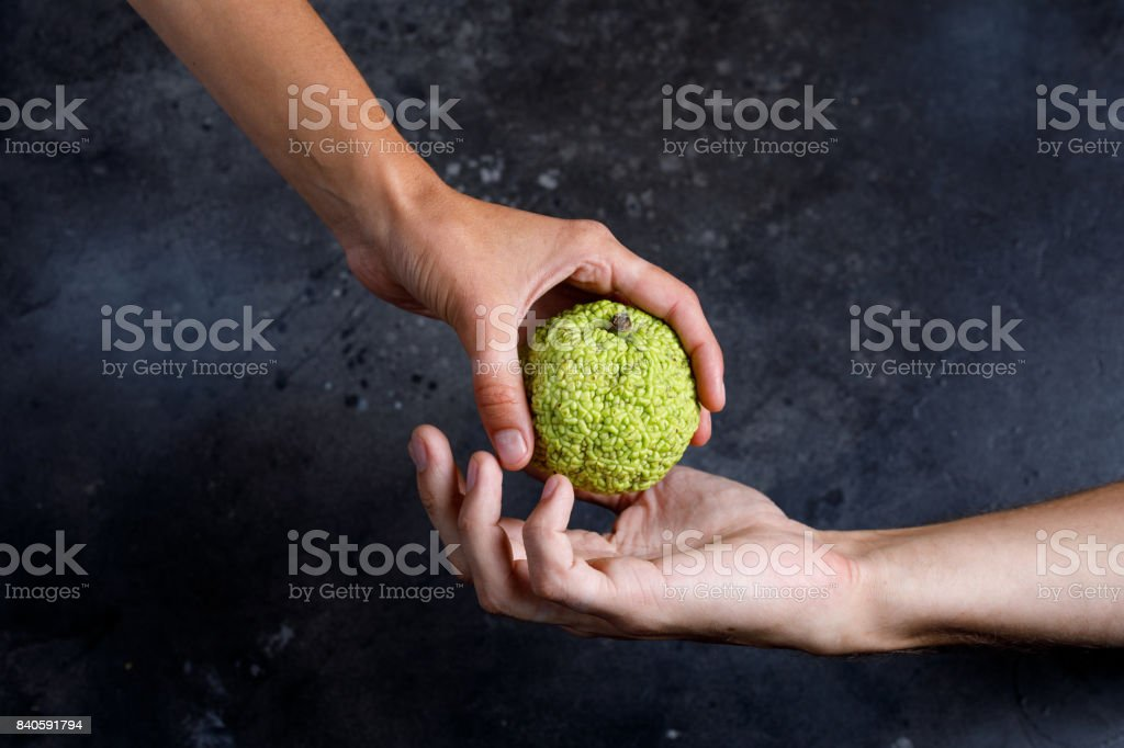 Woman's hand gives the apple to the man's hand. Hands holding a Adam's apple. stock photo