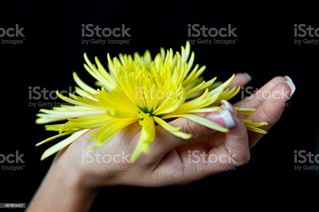 woman's hand holding a  yellow chrysanthemum stock photo