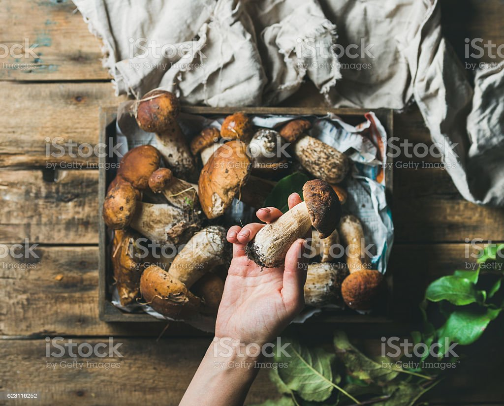 Woman's hand holding one of fresh picked porcini mushrooms stock photo