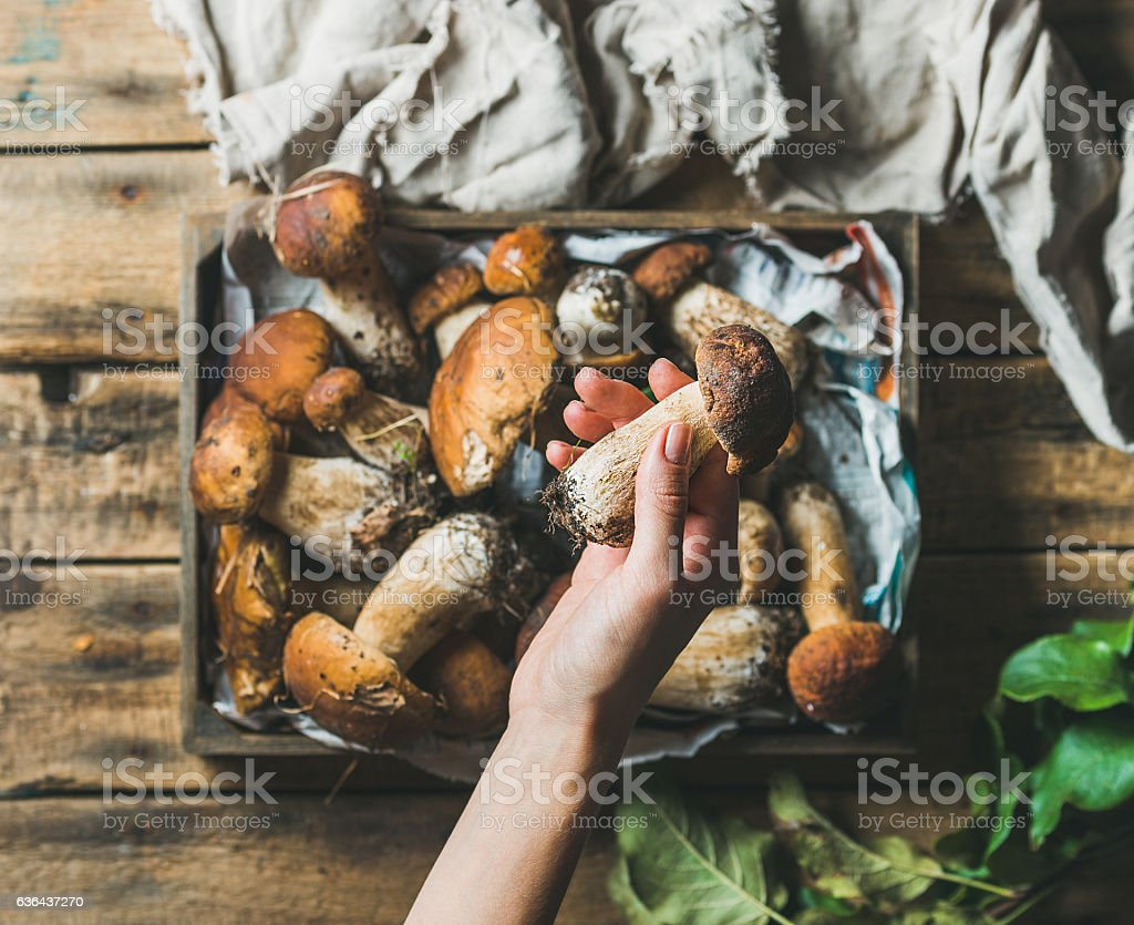 Woman's hand holding porcini mushroom over tray with penny stock photo