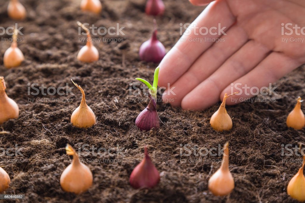 Woman's hand planting small onions in the ground. Early spring preparations for the garden season. stock photo