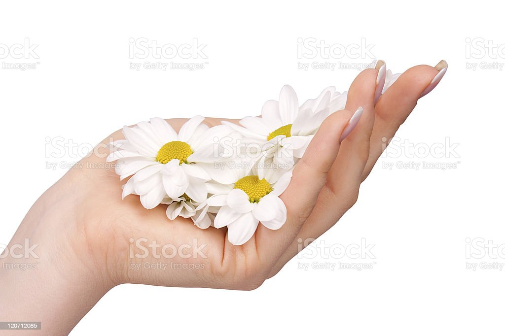 Woman's hand with a camomile royalty-free stock photo