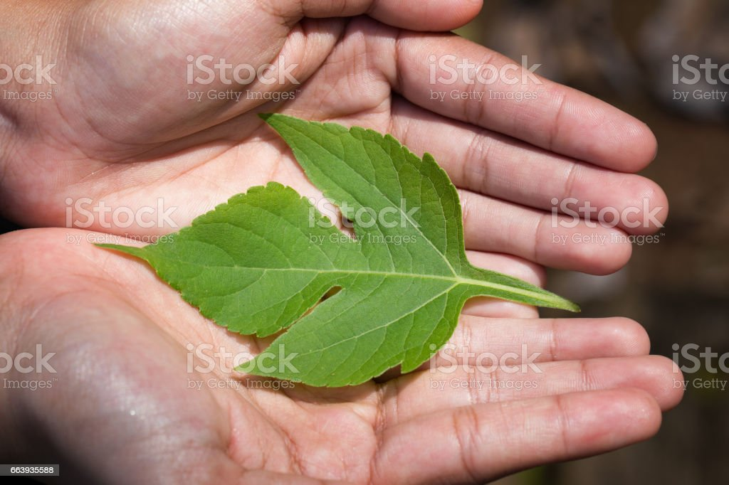 woman's hands holding a Green Leaves stock photo