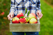 Woman's hands holding crate with red apples