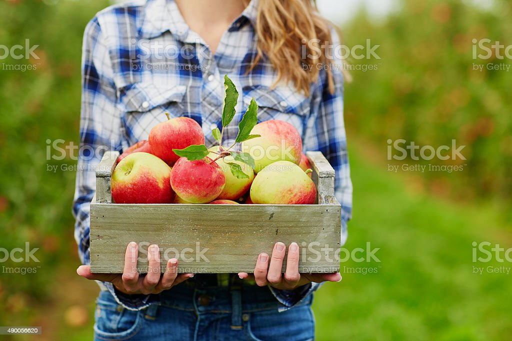Woman's hands holding crate with red apples stock photo