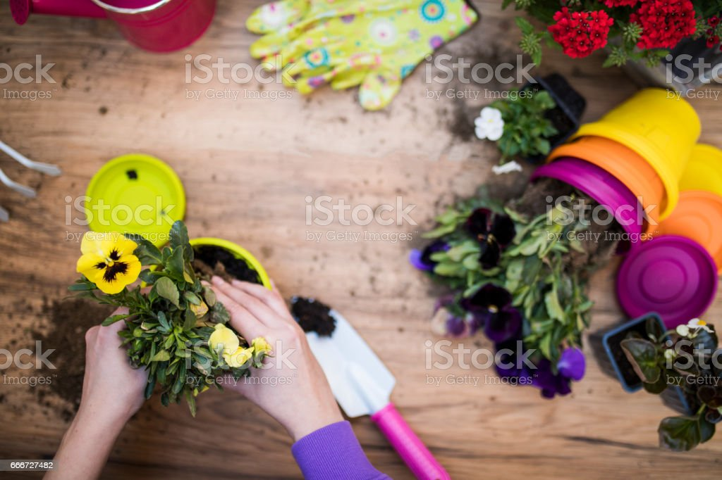 Woman's hands planting spring flowers stock photo