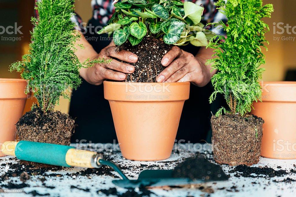 Woman's hands transplanting plant. stock photo
