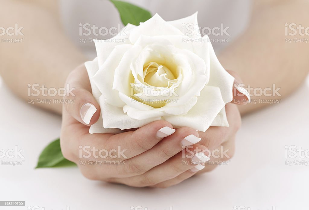 Woman's hands with white rose royalty-free stock photo