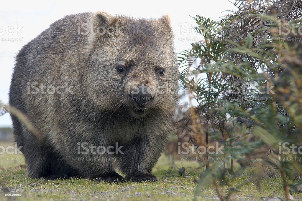Wombat close-up stock photo