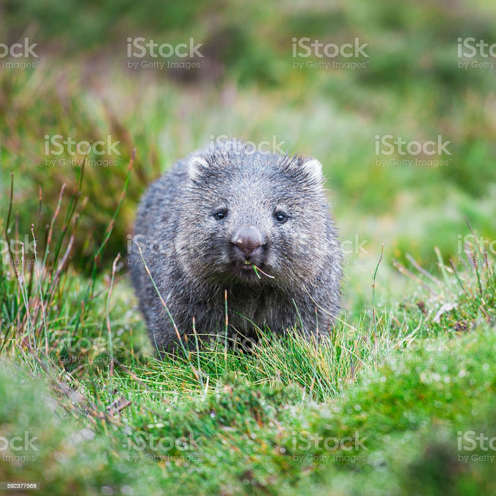 Wombat during the day stock photo
