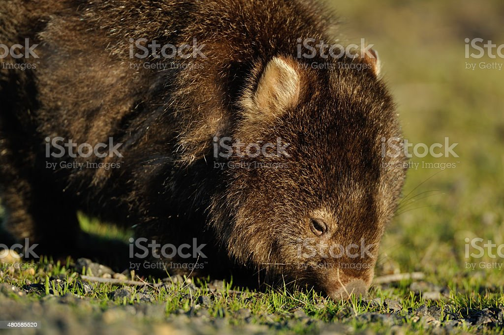 Wombat stock photo