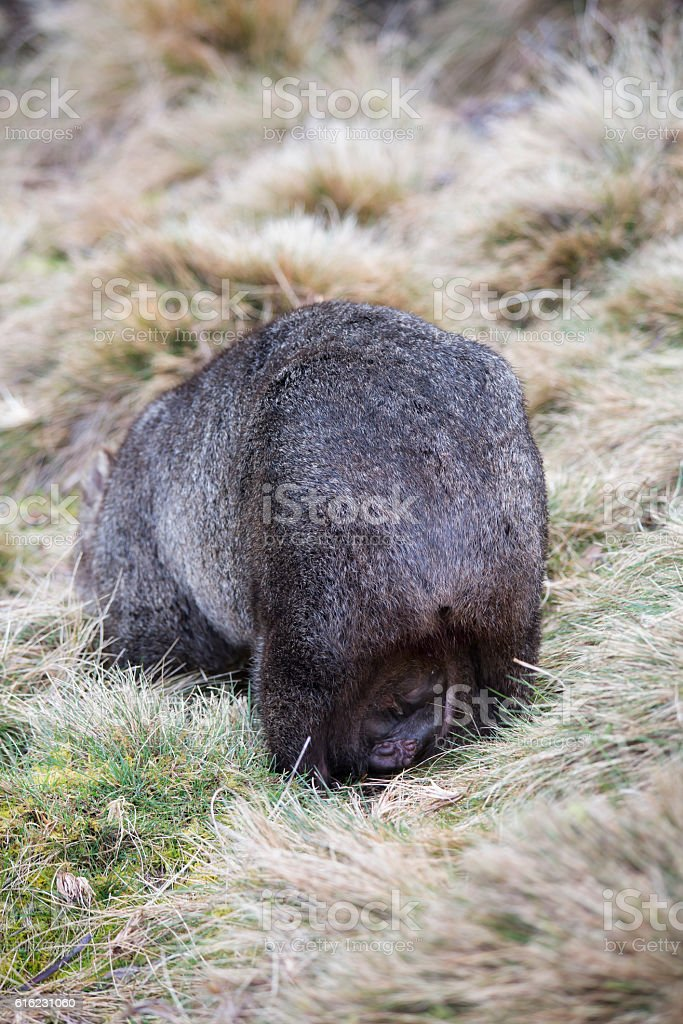 Wombat Pouch stock photo