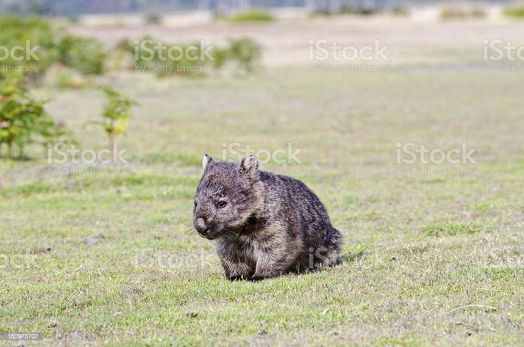 Wombat resting stock photo