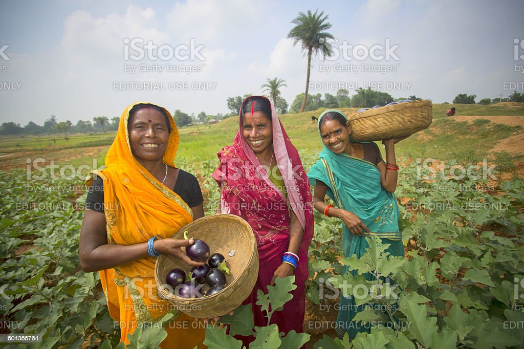 Women are standing in their eggplant field stock photo