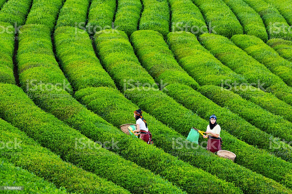 women collecting green tea stock photo