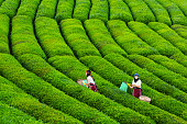 women collecting green tea
