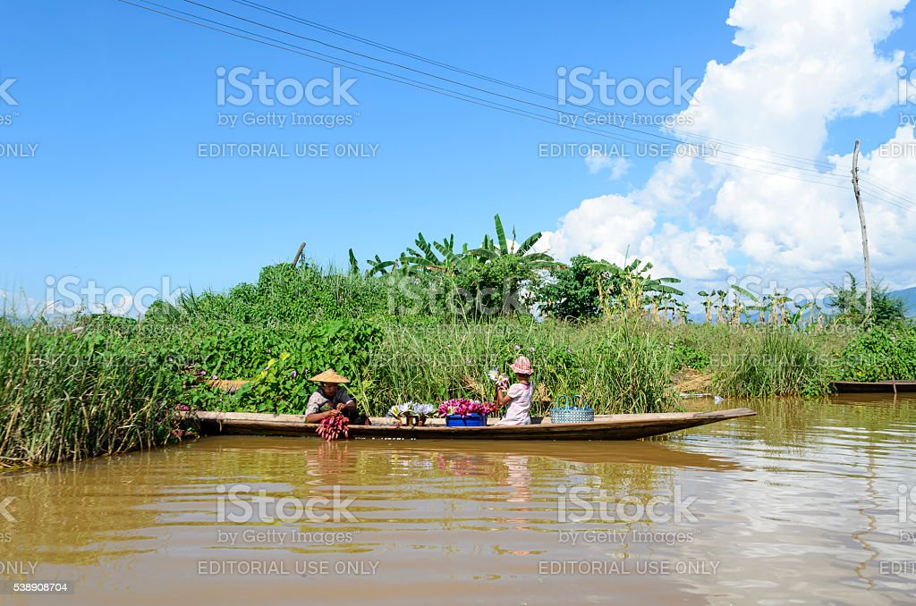 Women collecting lotus water lily on Inle Lake. stock photo