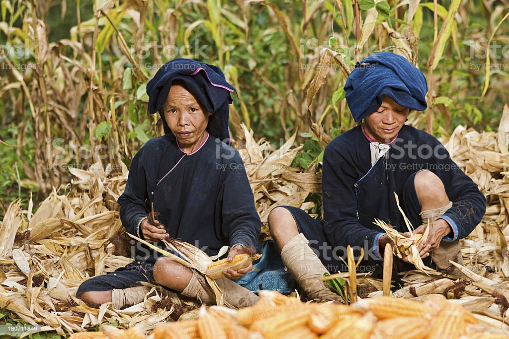 Women from Lantan hill tribe harvesting corn in Northern Laos royalty-free stock photo