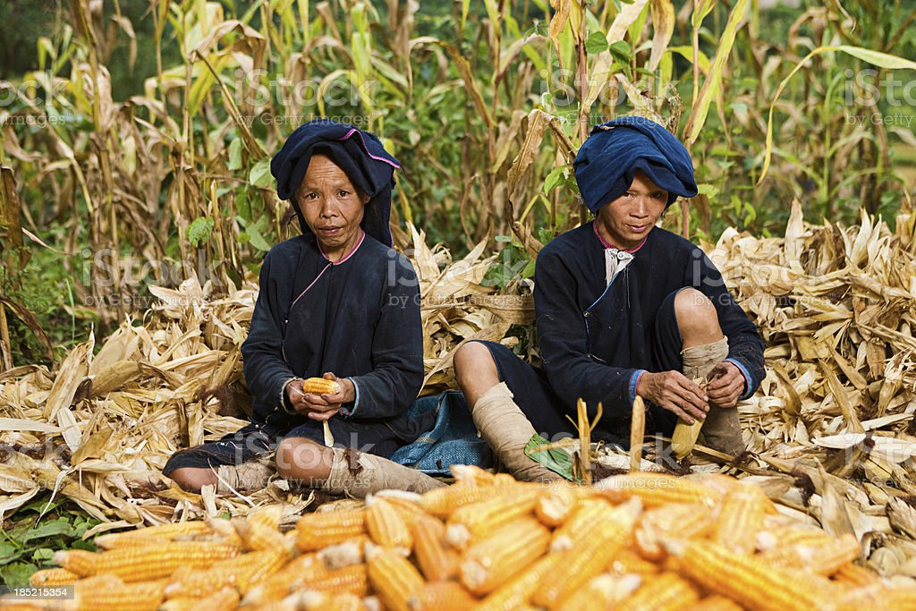 Women from Lantan hill tribe harvesting corn in Northern Laos stock photo