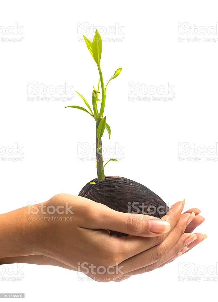 Women hand hold young othalanga sprout seed and leaf stock photo