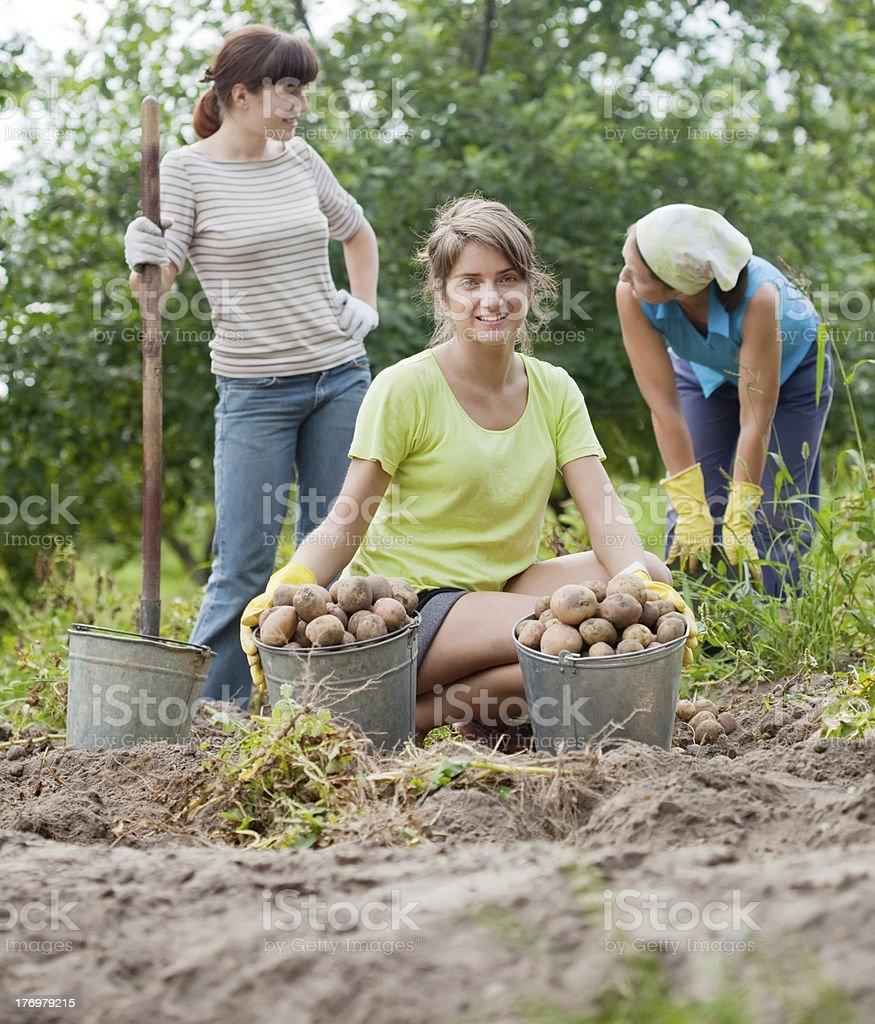women harvesting potatoes royalty-free stock photo