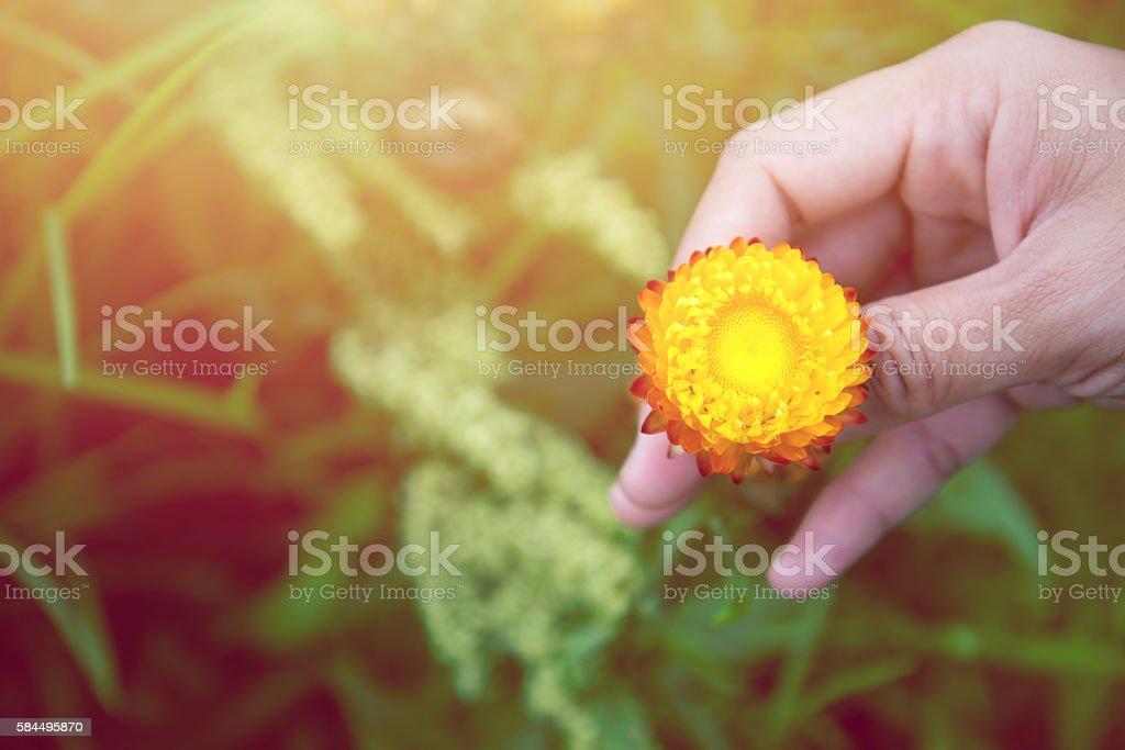 Women holding yellow flowers strawflower. stock photo