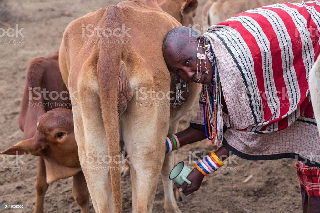 Women in traditional kanga and jewellery milking in Maasai village. stock photo