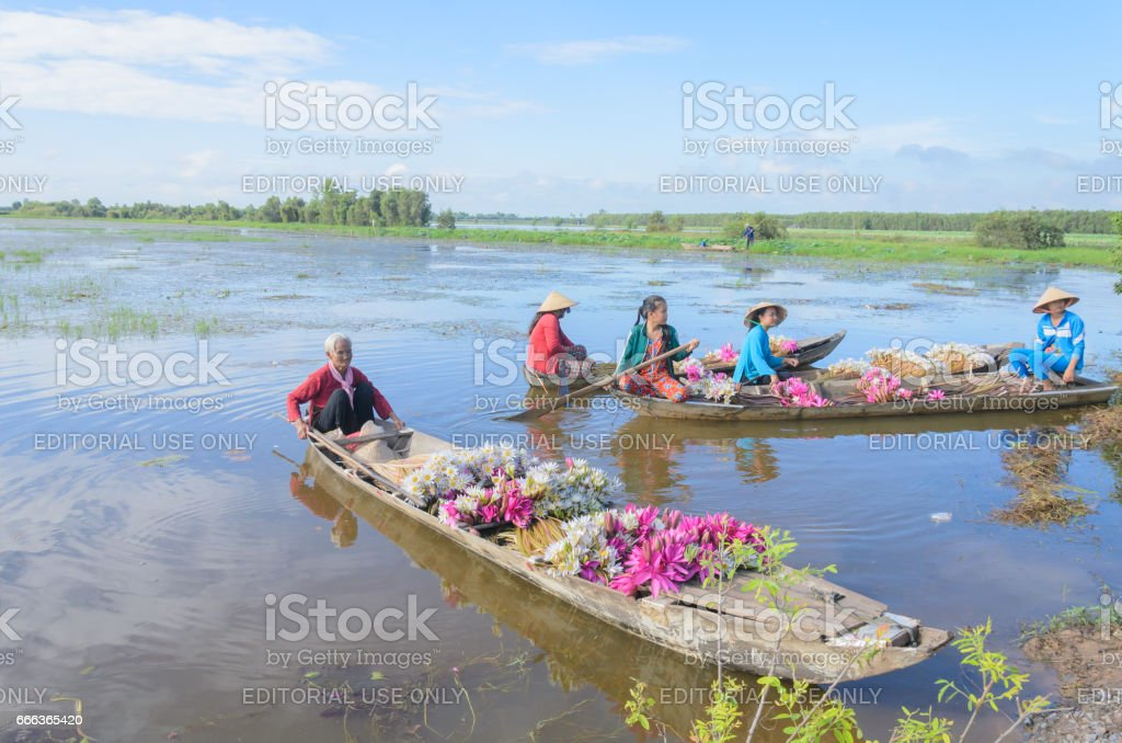women on boat, they harvest water lilies for food  in Mekong delta, Vietnam, Dec 22, 2016 stock photo