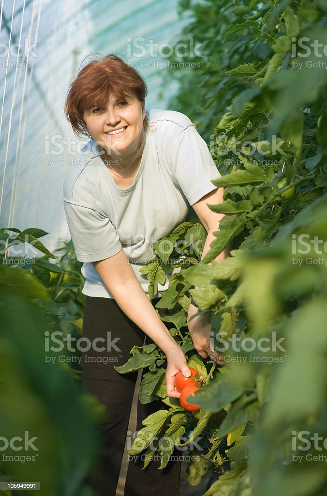 women picked tomatoes royalty-free stock photo
