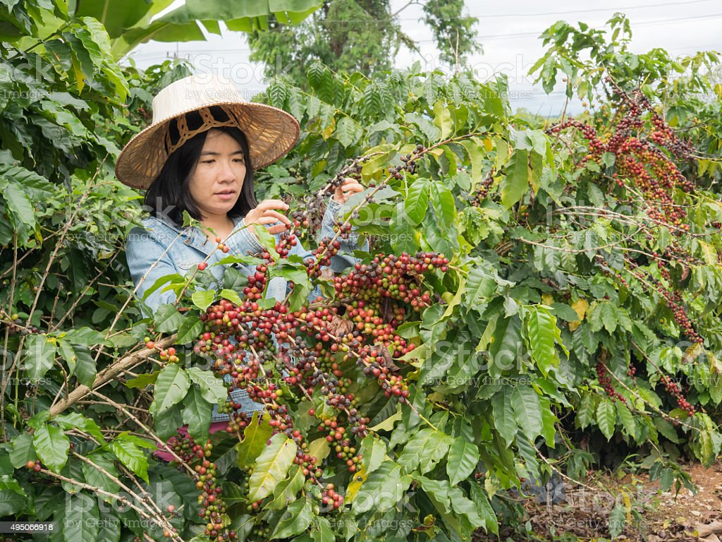 women picking coffe seed in the farmland stock photo