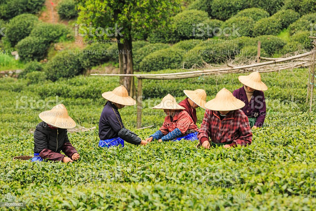 Women picking fresh tea in Hangzhou, China stock photo