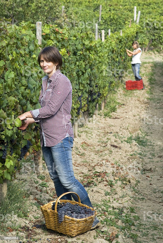 Women picking grapes stock photo