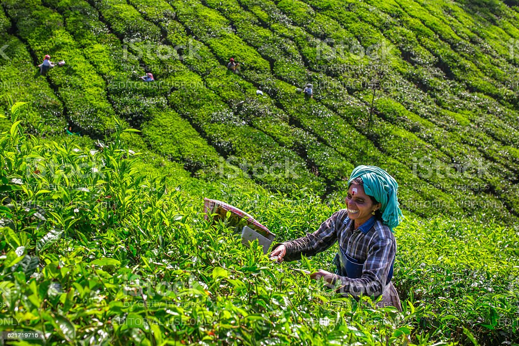 Women picking tea leaves in a tea plantation around Munnar stock photo