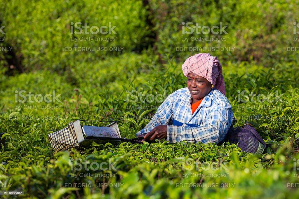 Women picking tea leaves in a tea plantation stock photo