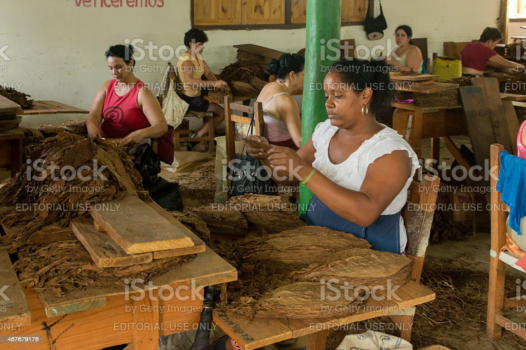 Women selecting tobacco leaves stock photo