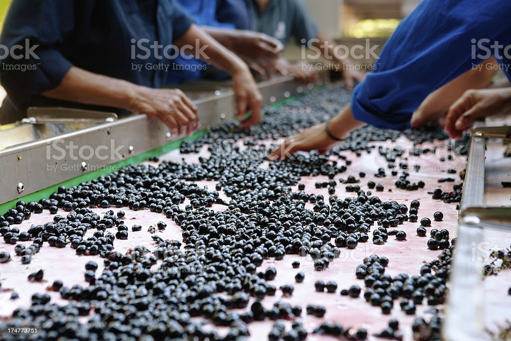 Women workers at winery hand sorting grapes on conveyor belt stock photo