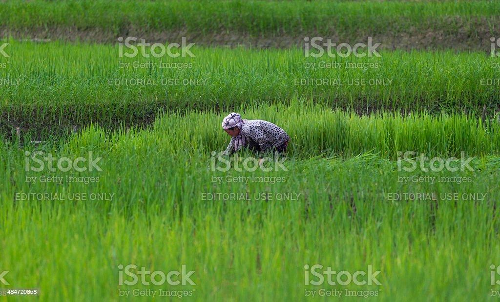 Women working in paddy field, India stock photo