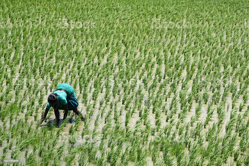 women working manually in a green paddy field in south India.. stock photo