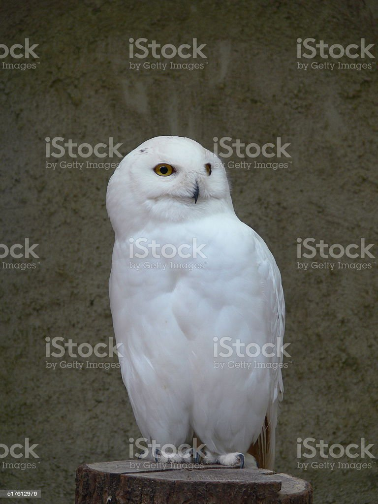 Wonderful arctic white owl (bubo) stock photo