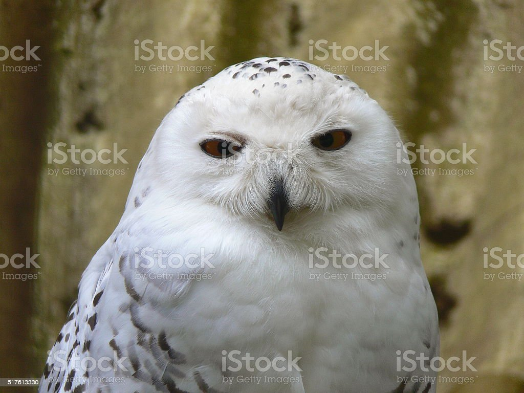 Wonderful arctic white owl, snow owl, bubo stock photo