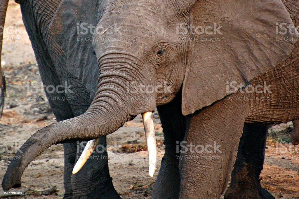 Wonderful Baby Elephant on a waterhole in Botswana stock photo