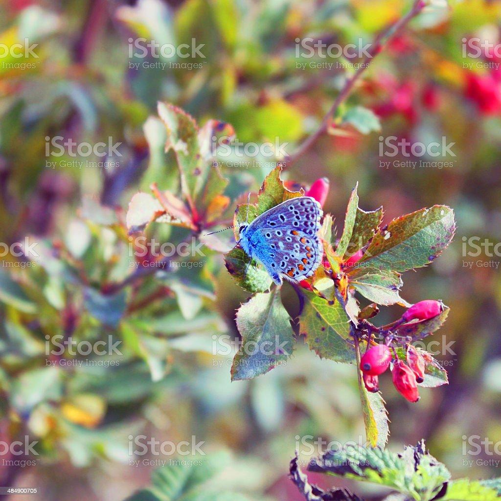 Wonderful blue butterfly shot at dusk stock photo