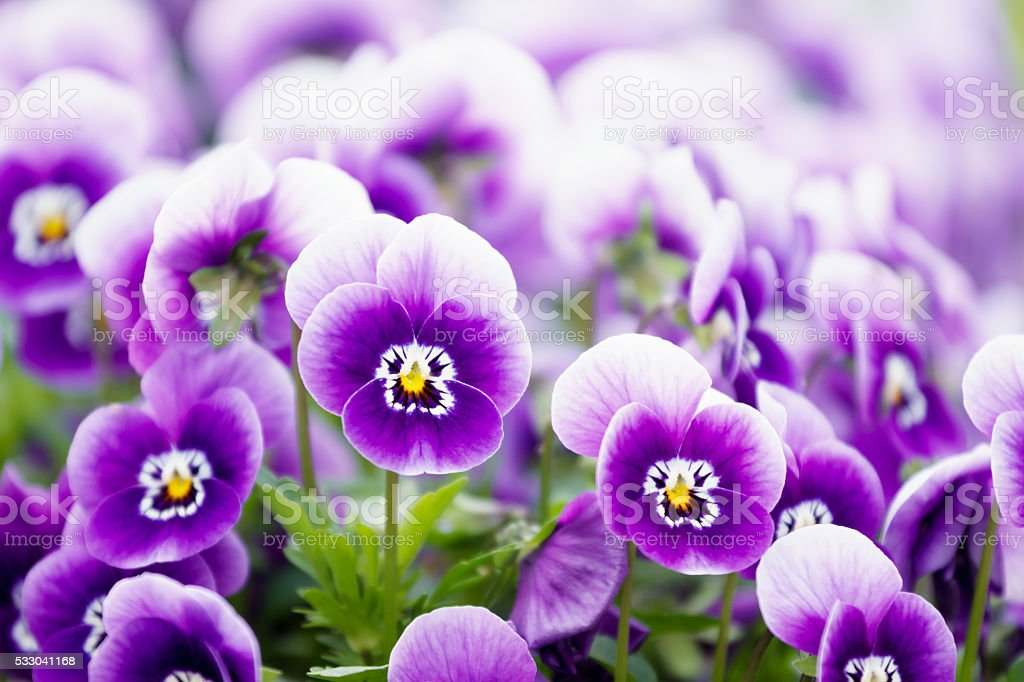 wonderful colors of the flowers of pansies stock photo