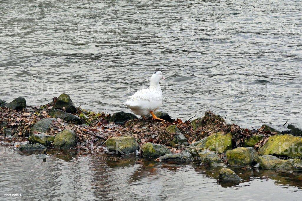 wonderful duck enjoys nature and wind stock photo