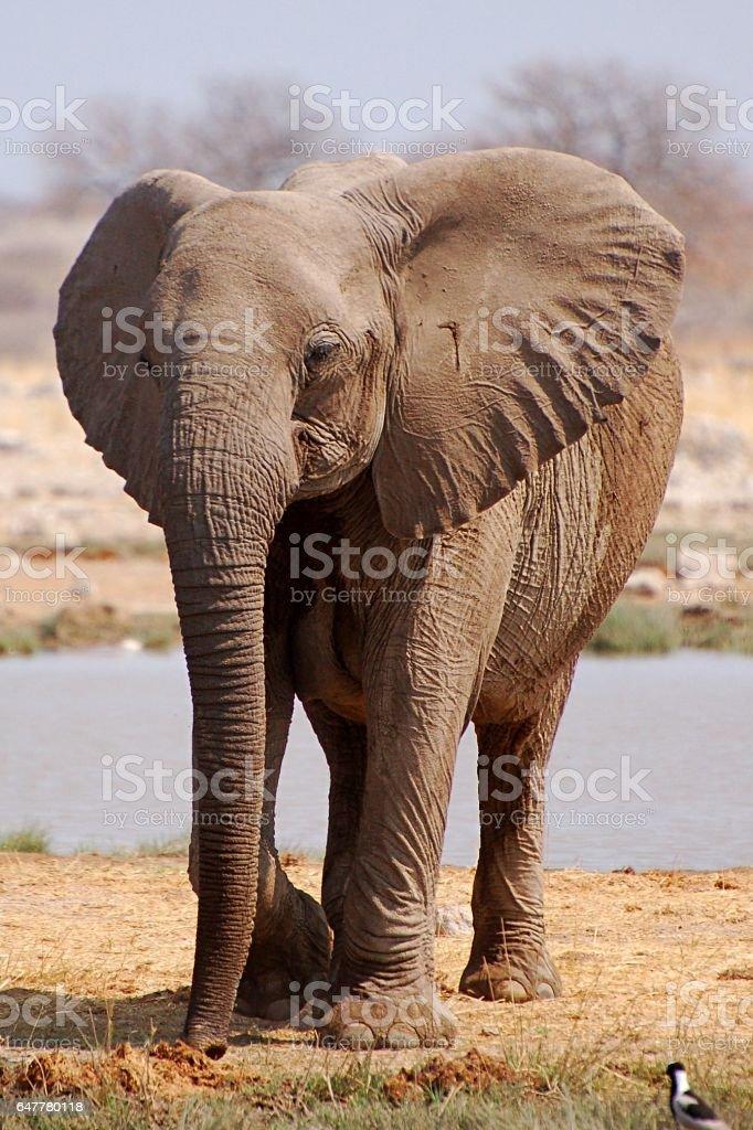 Wonderful Elephant in the Etosha National Park in Namibia stock photo