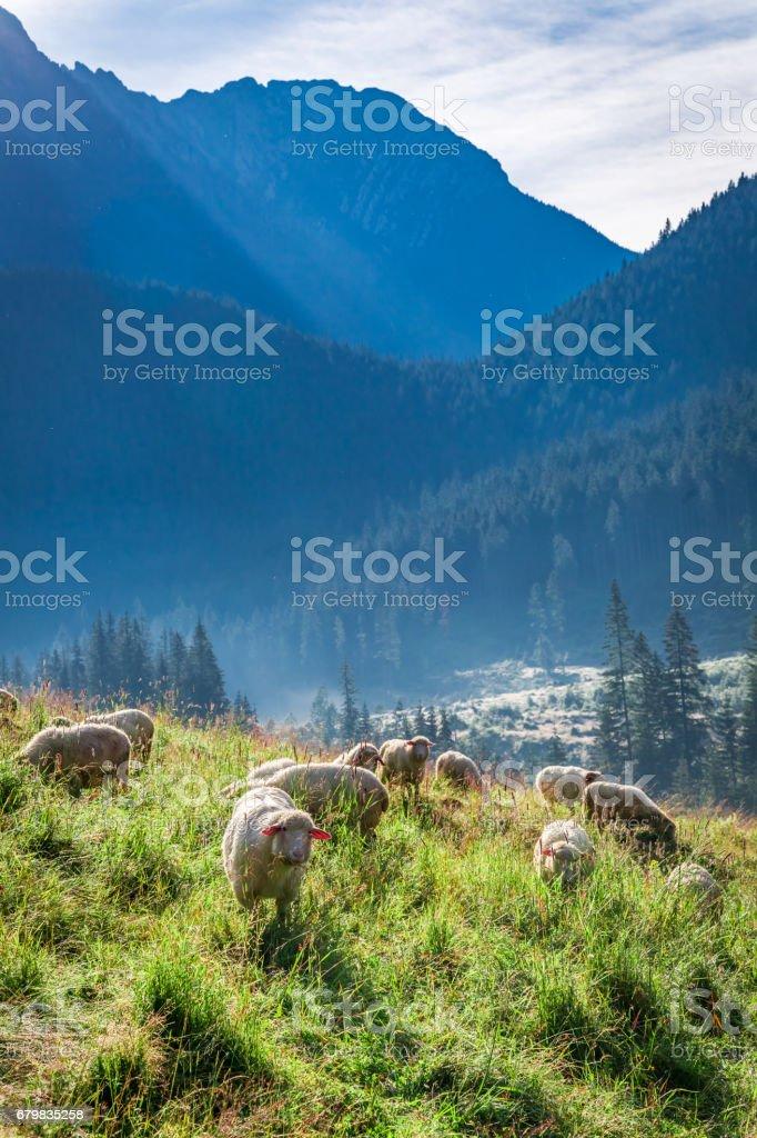 Wonderful flock of sheep grazing at dawn, Tatra Mountains, Poland stock photo