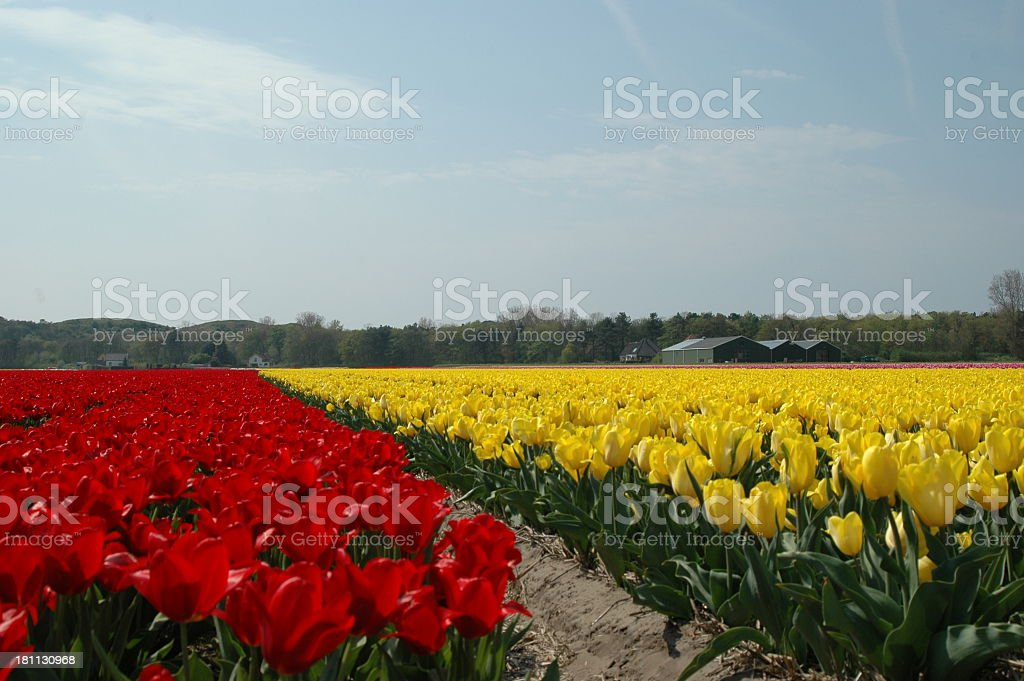 Wonderful flowers in Holland royalty-free stock photo